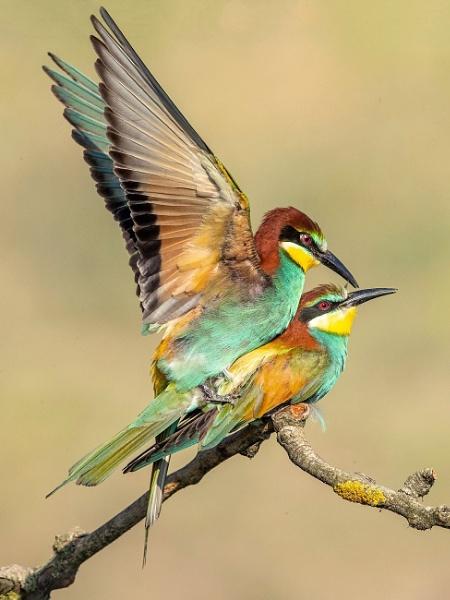 European Bee-eaters mating by Jamie_MacArthur