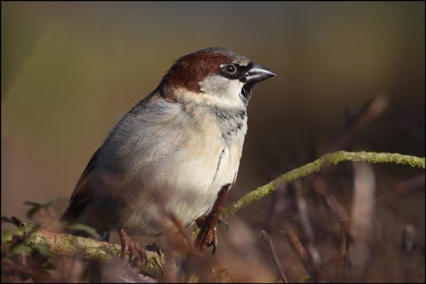 Sparrow portrait by alant2