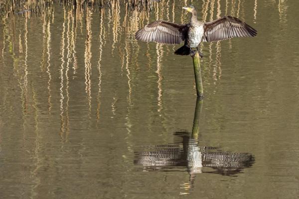 Cormorant basking in the sun by bobbyl