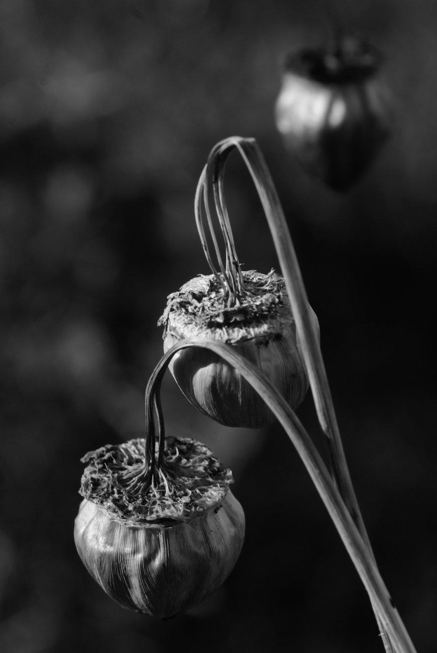 Dahlia seeding