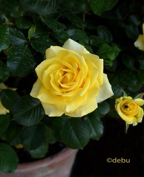 Yellow roses by debu