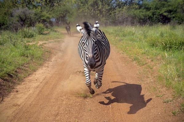 Zebra Chase by cat001
