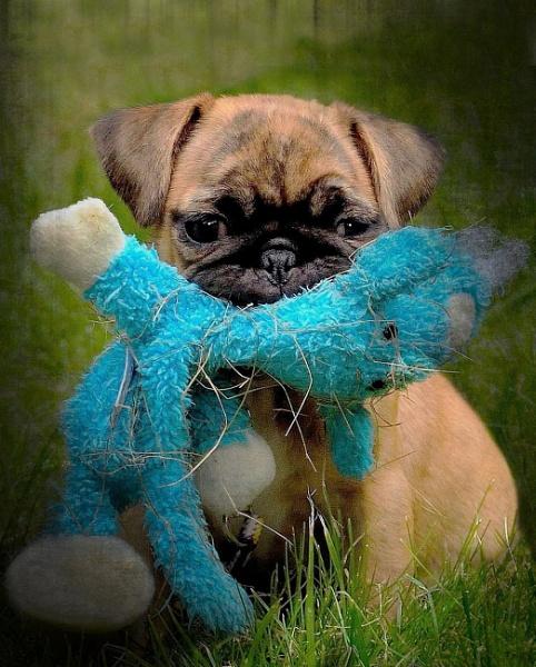 Little Pug by sweetpea62