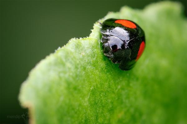 Kidney-spot Ladybird - Chilocorus renipustulatus by Mendipman