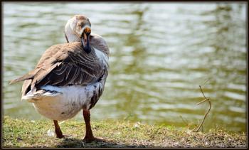Swan on sunbath.