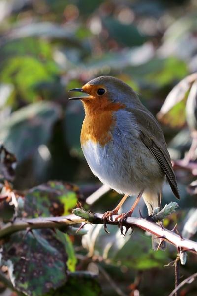Songbird Karaoke by ardbeg77