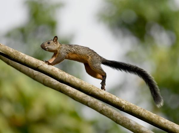 Squirrel by AlexAppleby