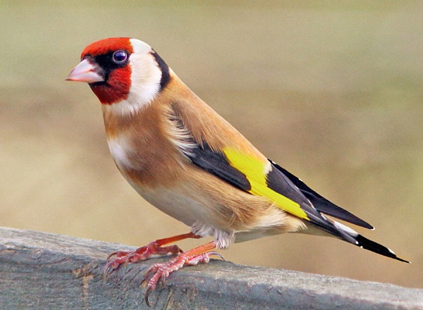 Goldfinch. by bobpaige1