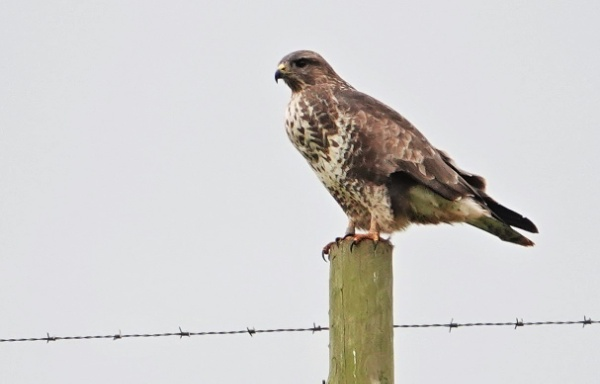 The buzzard has landed by frogs123