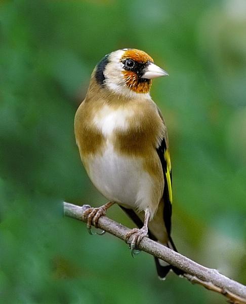 Goldfinch by robertsnikon
