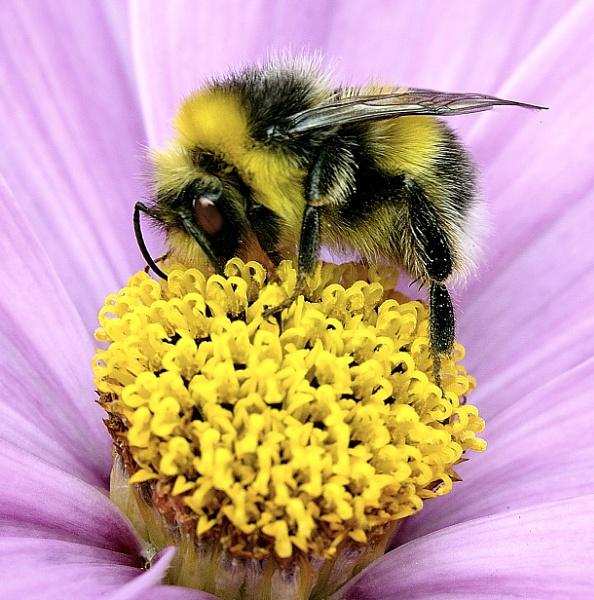 Macro Bumblebee by robertsnikon