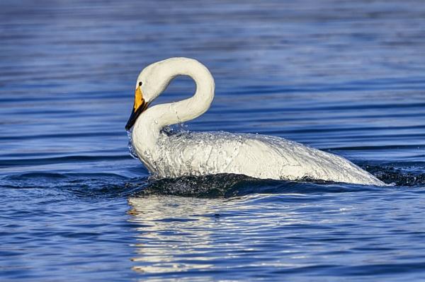 Whooper swan in Lake Kussharo-Ko by hannukon