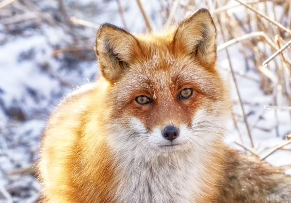 Fox in Nemuro 3 by hannukon