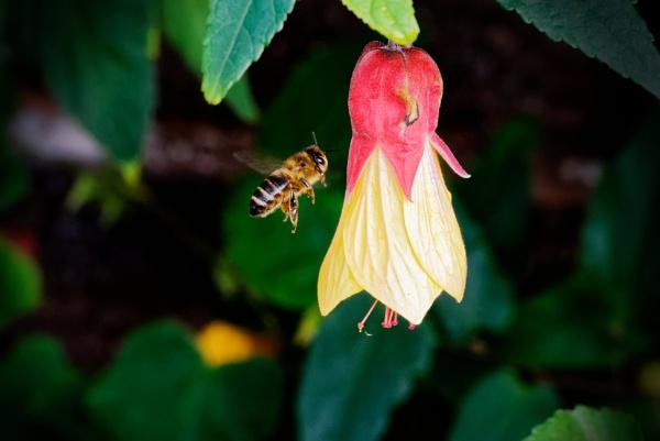 Bee on Abutalon. by simmo73