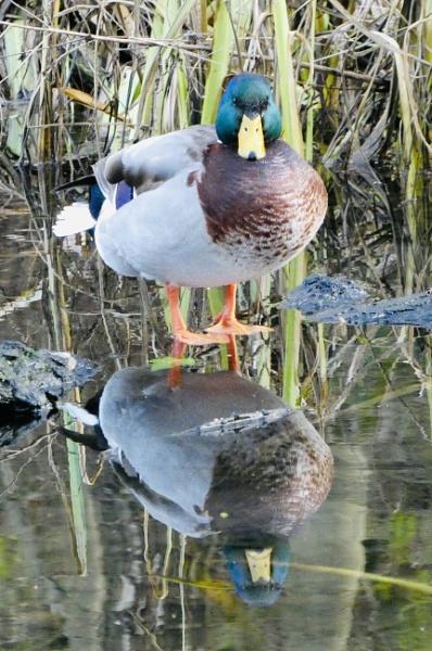Double Duck by Gedman