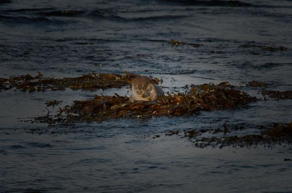 Otter by hsreid