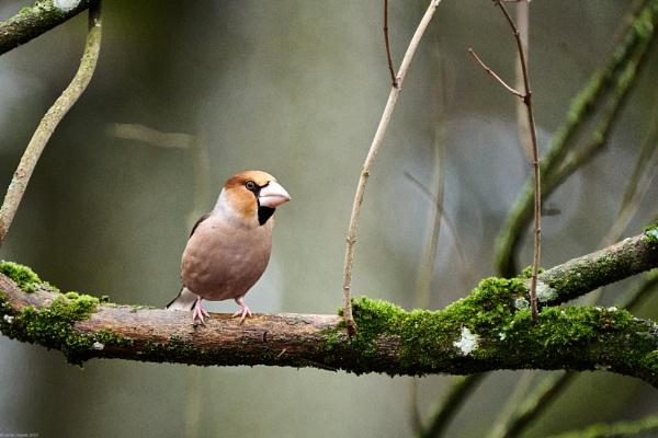 Hawfinch (Coccothraustes coccothraustes) – Svilikas by LotaLota