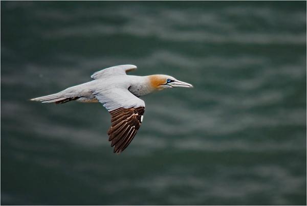 Gannet in Flight by dven