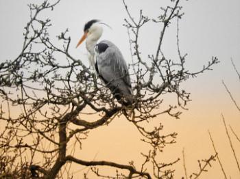 Heron in the tree