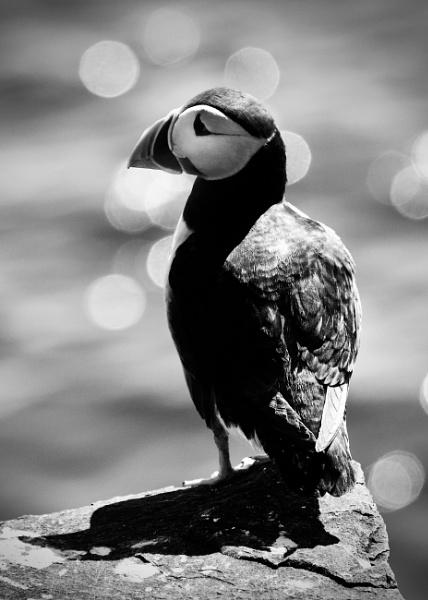 Farne Island Puffin by martin174
