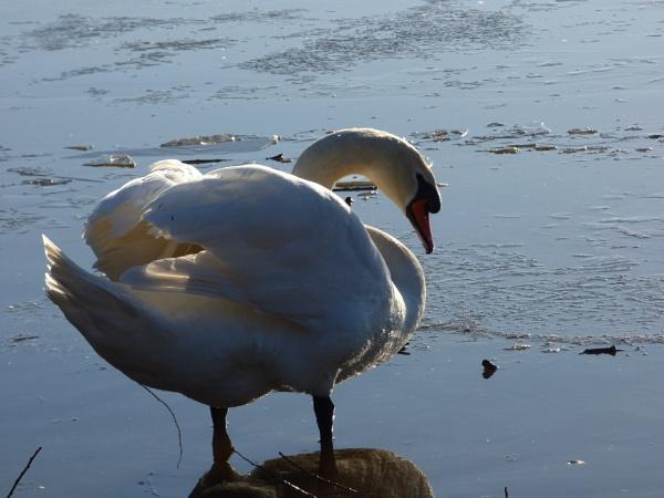 Swan Posing by temair