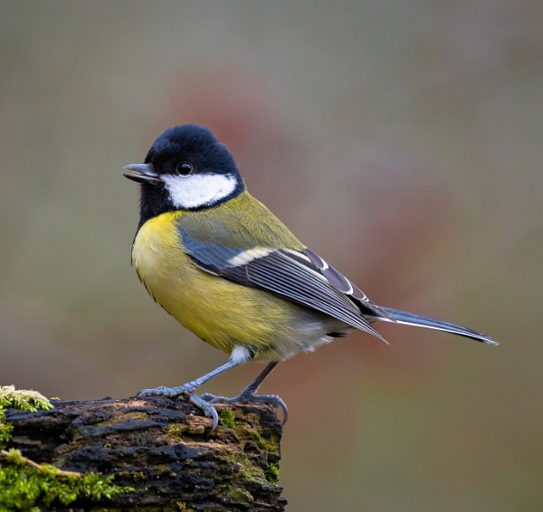 Great Tit by Paintman