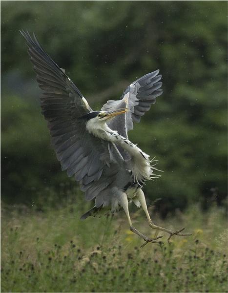 Grey Heron in the rain. by JeanE