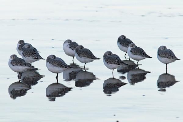 Sanderlings resting by oldgreyheron