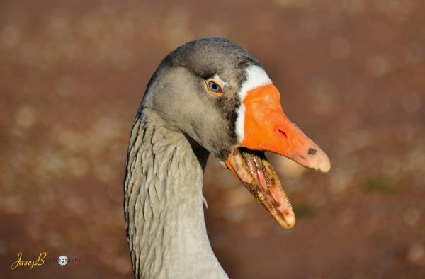 Greylag Goose by jb_127