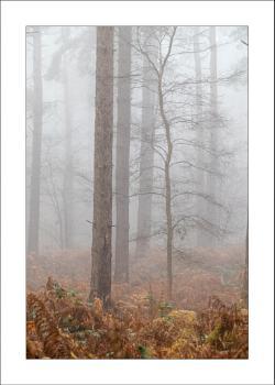 Foggy Blidworth Woods