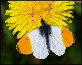 Orange Tip (male and female) !