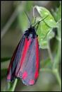 Cinnabar Moth ! by Badgerfred