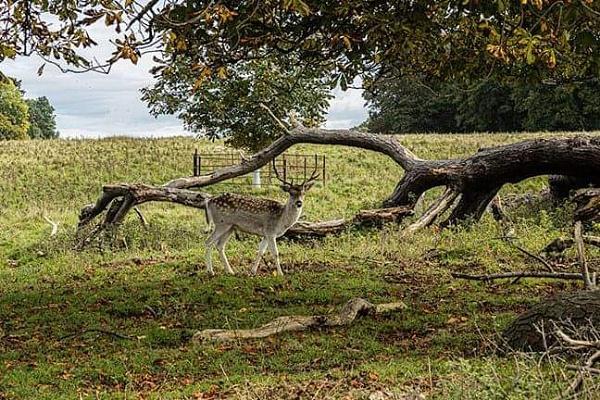 Stag in deer park. by ensign