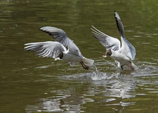 Black Headed Gulls Bread Race by DonMc