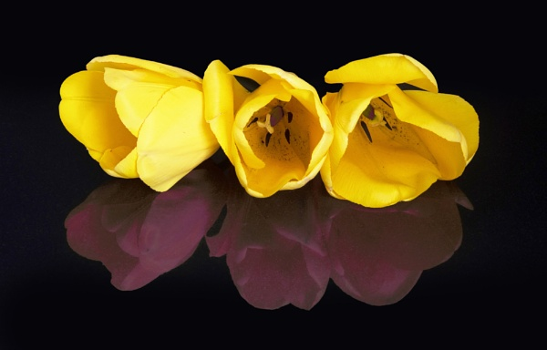 Tulips by DonMc