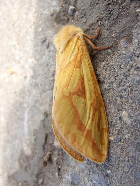 Ghost Moth by TonyDy