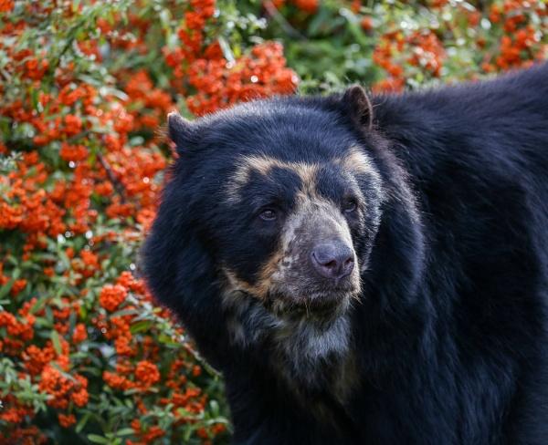 Andean Bear 2 by bobelle