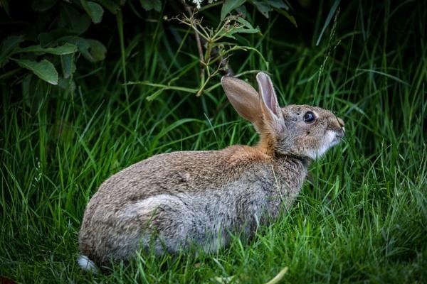 Wild Rabbit at dunham Massey by bobelle