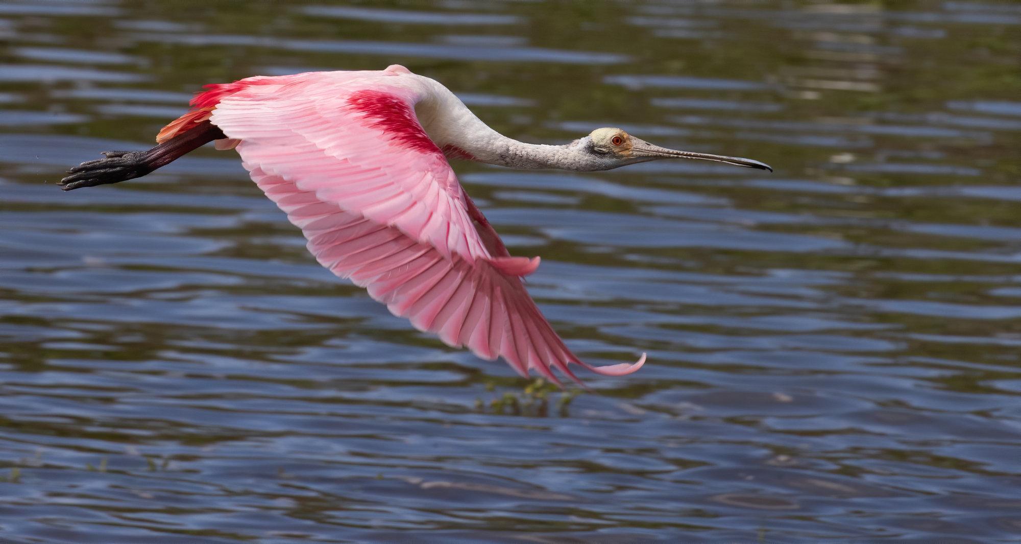 Rosette spoonbill in flight