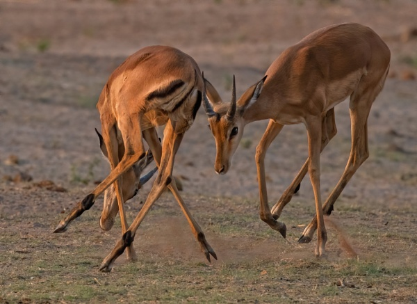 Sparing impala by esoxlucius