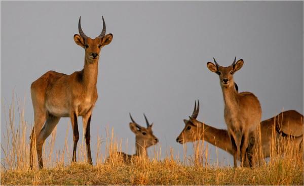 Antelope by mjparmy