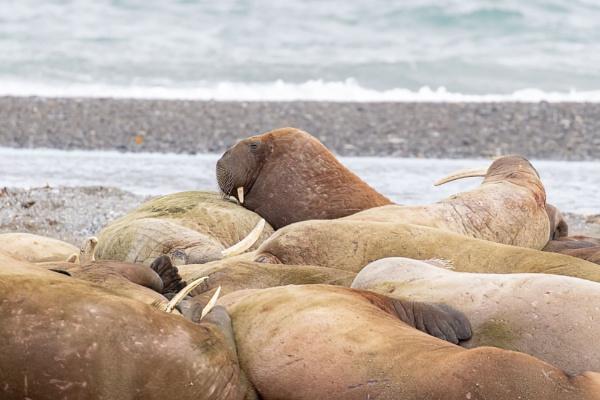 Walrus (Odobenus rosmarus) by Ray_Seagrove
