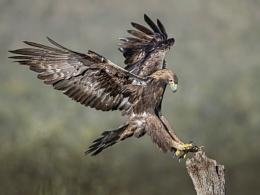 Wild Golden Eagle landing