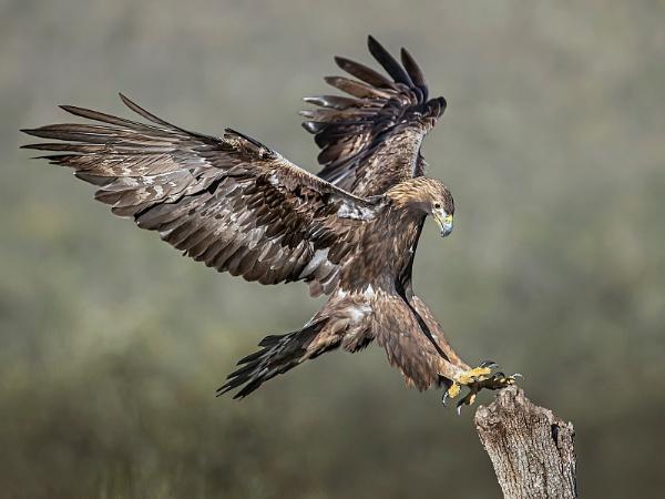Wild Golden Eagle landing by Jamie_MacArthur
