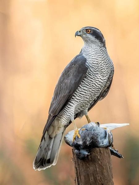 Wild Goshawk with prey by Jamie_MacArthur