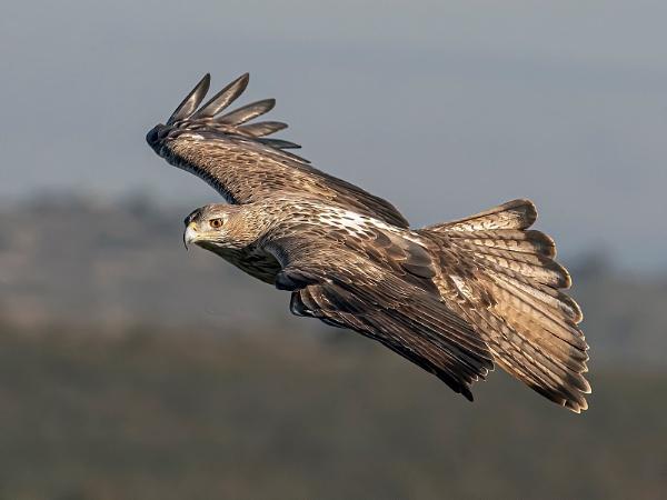 BonelliÂ's Eagle by Jamie_MacArthur