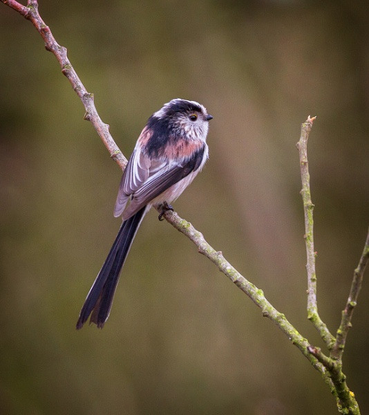 Long Tailed Tit by pink