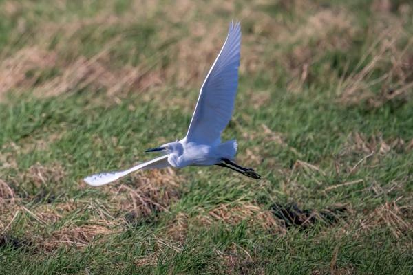 Little Egret by bobbyl
