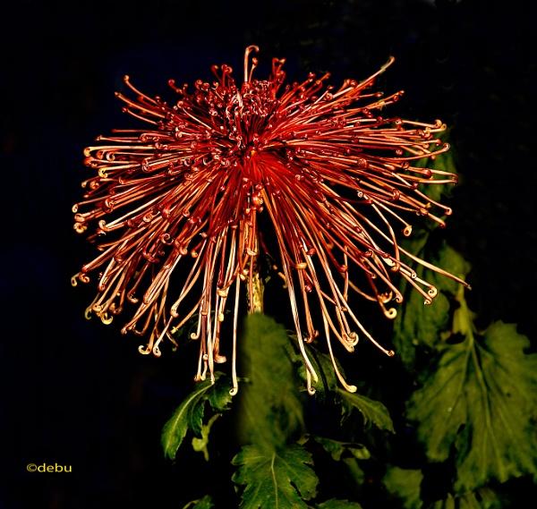 Spider Chrysanthemum..6 by debu