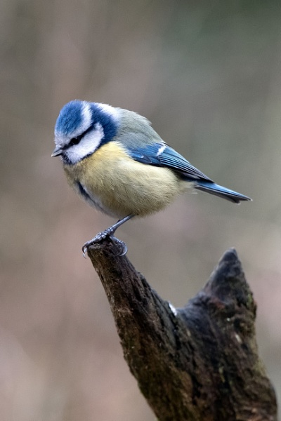 Blue tit by awmcdonald